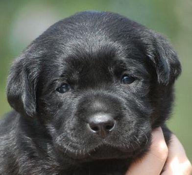 Vendita Cuccioli Labrador Retriever Allev Soeli